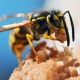 Image of a wasp
